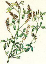 донник лекарственный (melilotus officinalis)